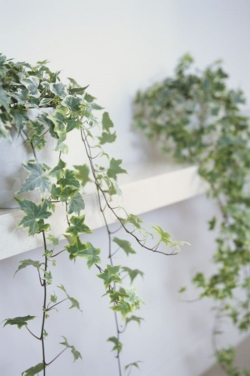 Plants for Anxiety and Depression 8