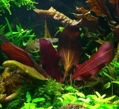 Red Aquarium Plants 7