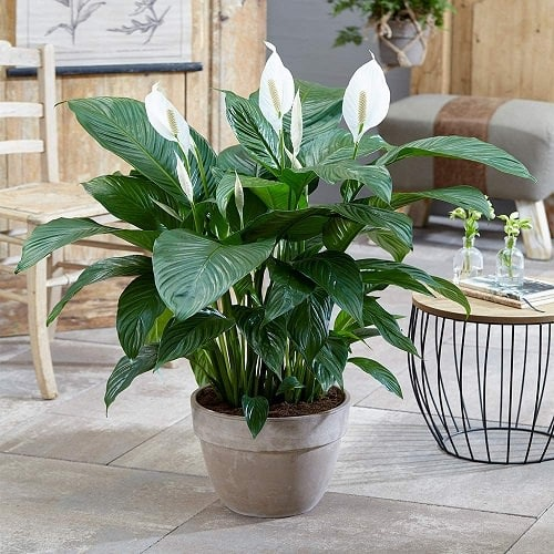 10 Most Oxygen Producing Houseplants | Indoor Plants for Oxygen. things that are green