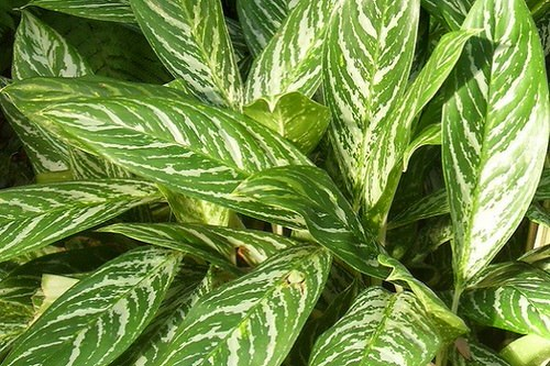 Best Aglaonema Varieties 9