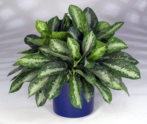 Best Aglaonema Varieties 10