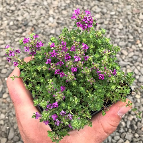 Best Herbs for Hanging Baskets 2