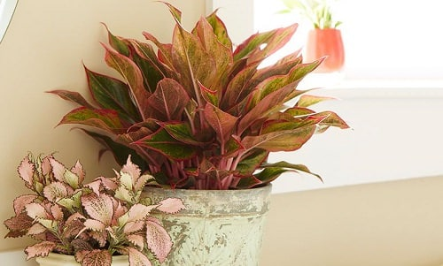 Best Aglaonema Varieties 11