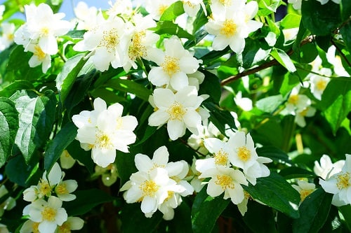 Types of White Flowers 11