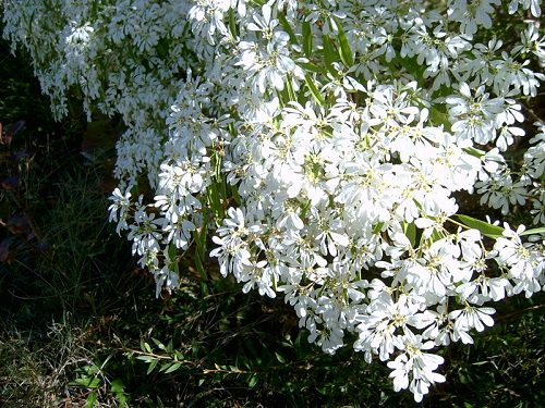Types of White Flowers 14