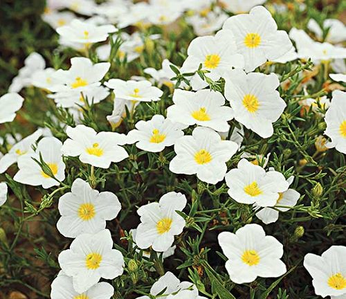 Types of White Flowers 10