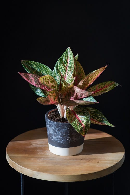 Best Aglaonema Varieties 2