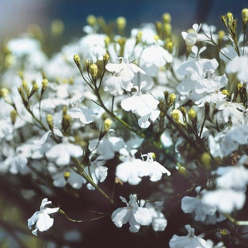 Types of White Flowers 18