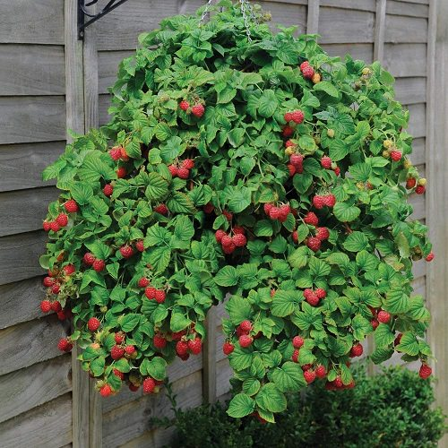 Fruits You Can Grow in Hanging Baskets 2