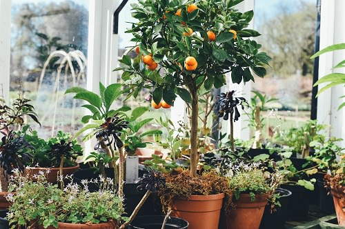 Fruits You Can Grow in Balcony 4