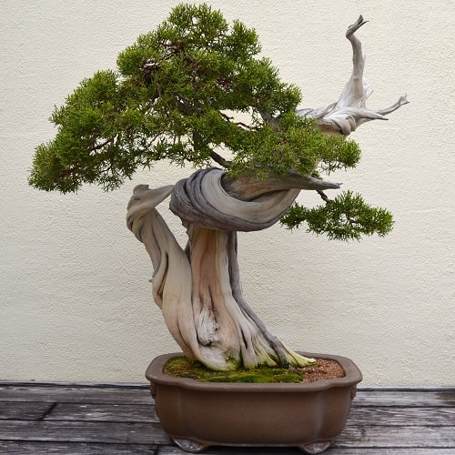 Best Indoor Bonsai Trees for Beginners 3