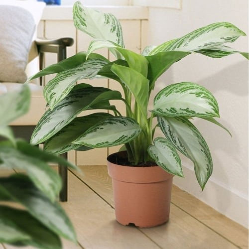 Best Aglaonema Varieties 4