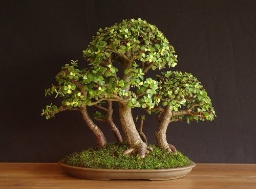 Best Indoor Bonsai Trees for Beginners 4