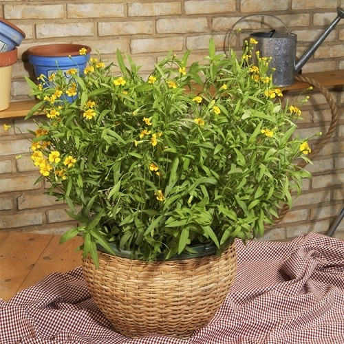 Types of Marigolds 5