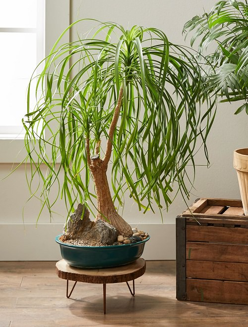 Best Indoor Bonsai Trees for Beginners 5