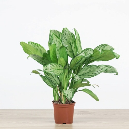Best Aglaonema Varieties 6