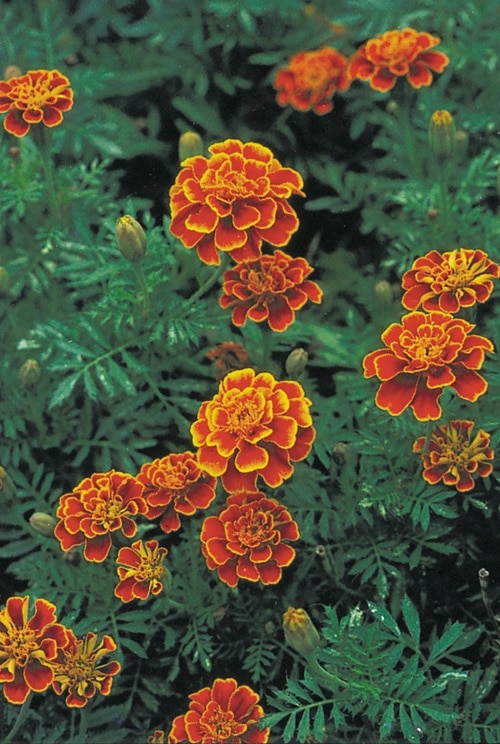 Types of Marigolds