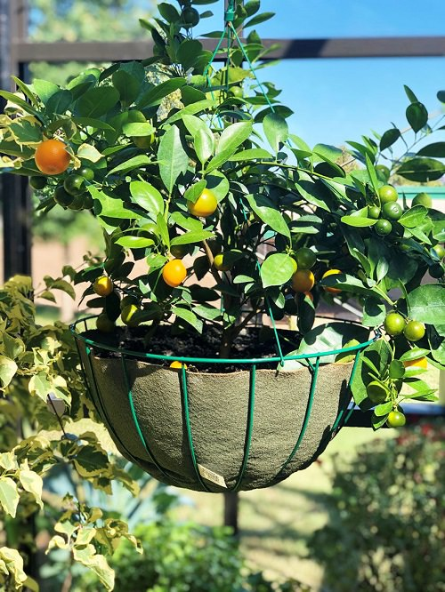 Fruits to grow in hanging baskets