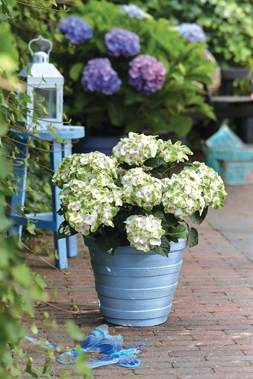 Growing Hydrangeas In Pots 2