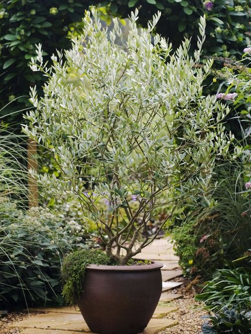Growing Olive Tree In A Pot How To Grow An Olive Tree In A Container