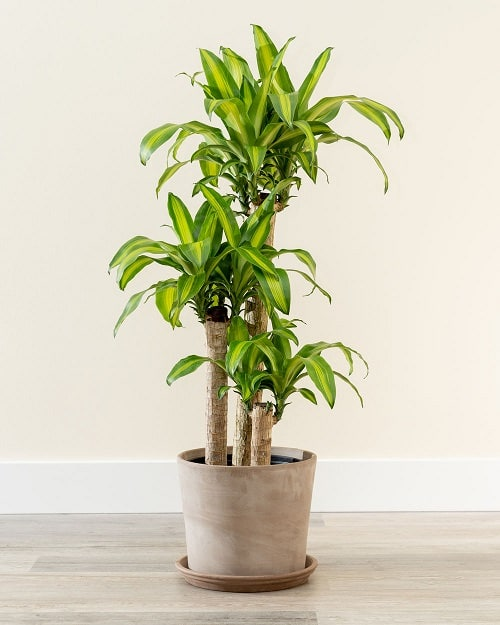 Plants that Increase Humidity Indoors 6