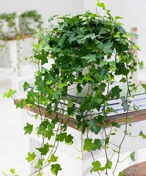 English Ivy Benefits 5