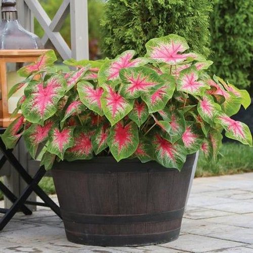 Most Beautiful Caladiums 9