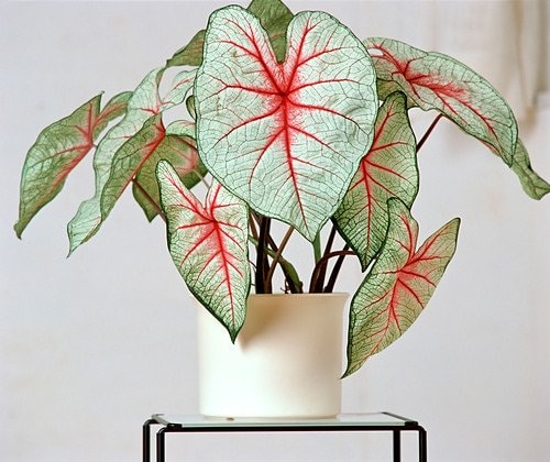 Most Beautiful Caladiums 10