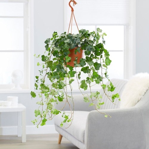 Healing Houseplants that can Improve your Health 3