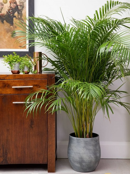 Growing Areca Palm Indoors