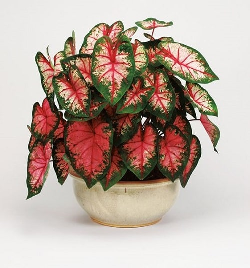 Most Beautiful Caladiums 11