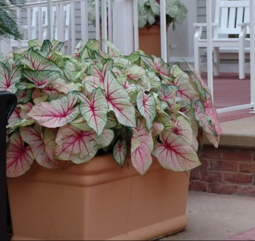 Most Beautiful Caladiums 12