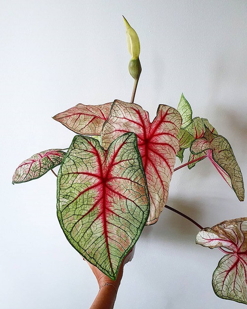 Most Beautiful Caladiums 13