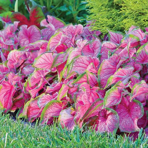 Most Beautiful Caladiums 15