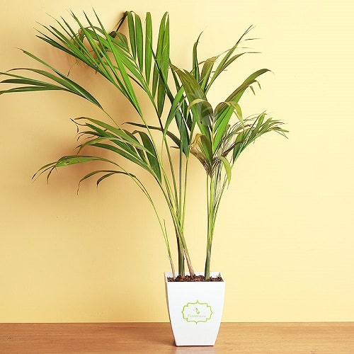 Growing Areca Palm Indoors 2