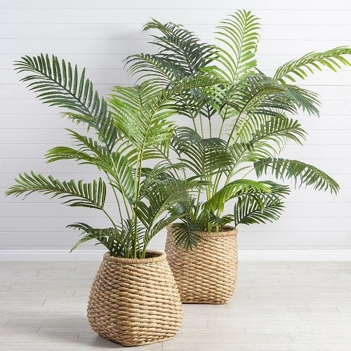 Areca Palm Benefits and Facts