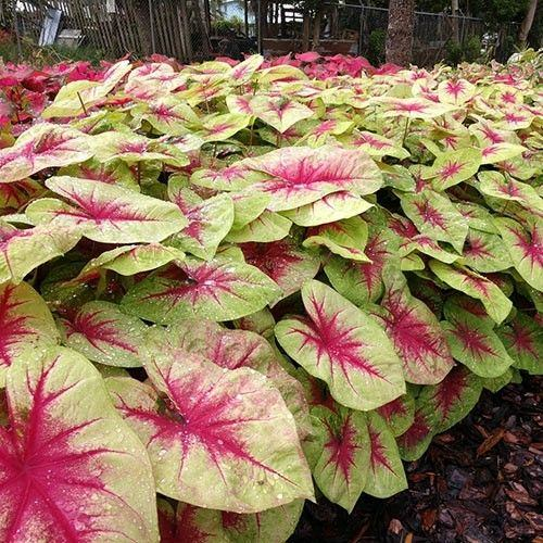 Most Beautiful Caladiums 18