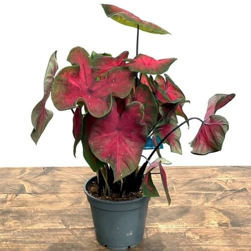 Most Beautiful Caladiums 21