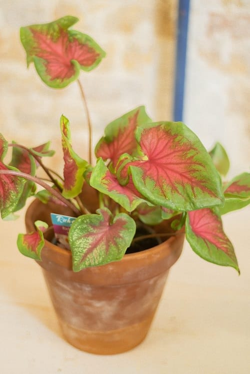 Most Beautiful Caladiums 22