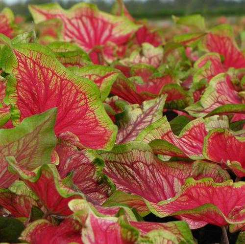 Most Beautiful Caladiums 23