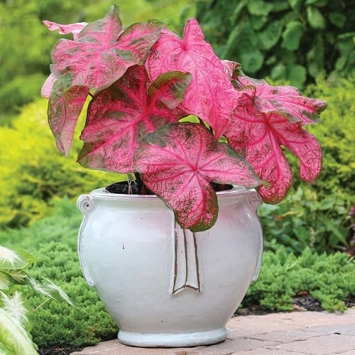 Most Beautiful Caladiums 3