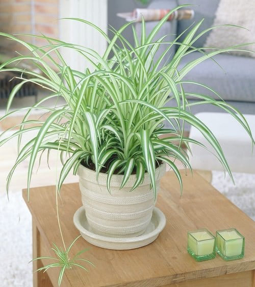 Plants that Increase Humidity Indoors 10