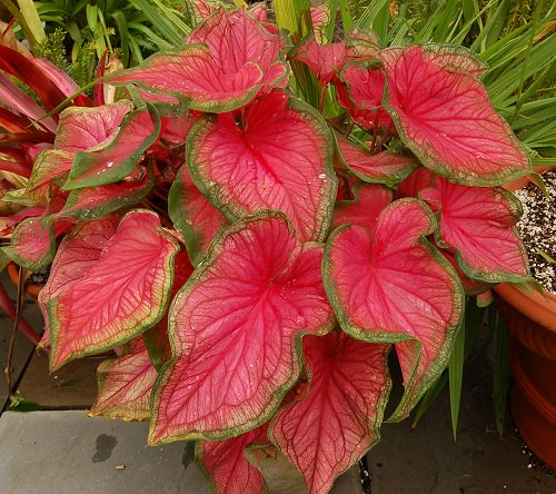 Most Beautiful Caladiums 4