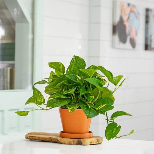 Plants that Increase Humidity Indoors 5