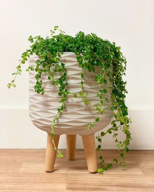 19 Best Indoor Vines Climbers You Can Grow Easily In Home
