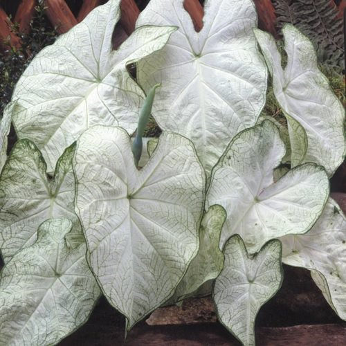 Most Beautiful Caladiums 5
