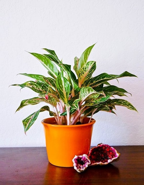 Chinese Evergreen Care Indoors