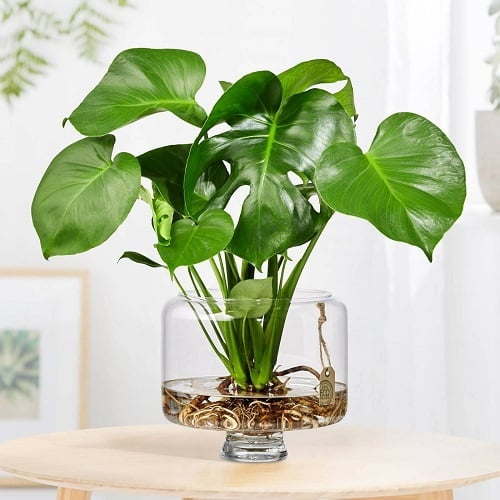 Propagating monstera in water