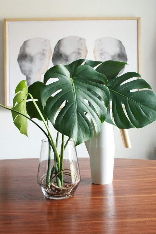 Growing monstera in water