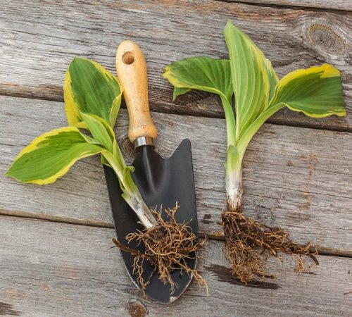 Hosta Growing Ideas